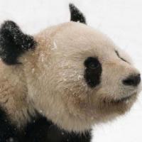 国产大熊猫